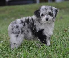 australian shepherd lion cut aussiedoodles welcome to our ranch where temperament color