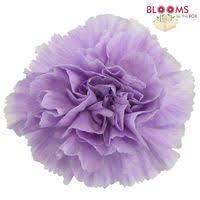 purple carnations light purple lavender moonaqua carnations wholesale