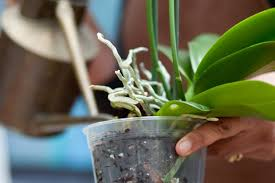 orchids care how to care for orchids gardenersworld