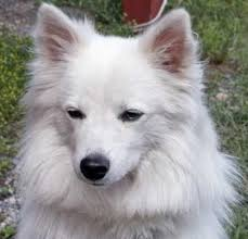 american eskimo dog short hair 100 best miniature american eskimo dogs images on pinterest
