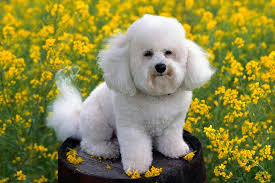 bichon frise names male bichon frise puppies for sale from reputable dog breeders