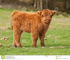 cow cute calf highland cattle stock photos images u0026 pictures
