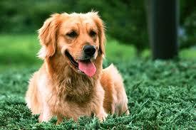 Comfort Golden Retriever Breeders Golden Retriever Puppies For Sale From Reputable Dog Breeders