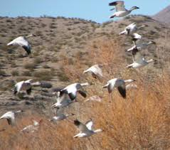 large number of sand hill cranes in bosque del apache national