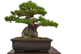growing japanese black pine bonsai from seed