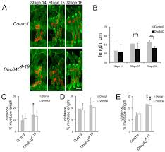 muscle length and myonuclear position are independently regulated