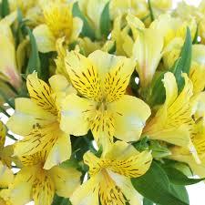 Alstroemeria Yellow Alstroemeria Flower