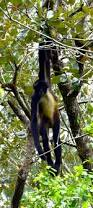 45 best spider monkey u0027s adorable images on pinterest spider