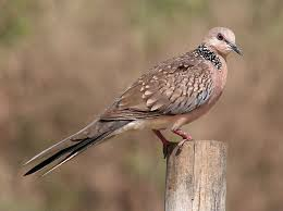 spotted dove streptopelia chinensis symbolic meaning whispers