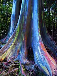 the rainbow tree eucalyptus tree barking f c and ranges