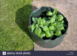 Container Gardening Potatoes - container growing potatoes in a space saving patio bag of compost