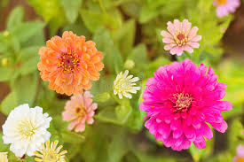 colorful zinnia flower on tree in garden stock photo image 70806398
