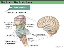Brain Stem Anatomy The Central Nervous System Ppt Video Online Download
