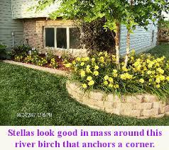 Stella Daylily All About Stella De Oro Daylily Life And Lawns