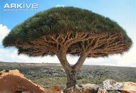 nubian tree photos and facts dracaena ombet arkive