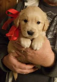 Comfort Retriever Puppies For Sale 15 Reasons Why Golden Retrievers Are The Best Dogs Ever