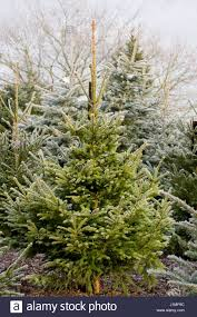 picea abies christmas tree part 20 premium pruned norway spruce