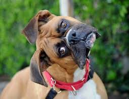 boxer dog funny 15 signs you are a crazy boxer person