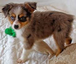 australian shepherd 4 sale toy australian shepherd puppy for sale in boca raton south florida c