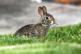 Rabbit Repellent For Gardens by Rabbit Control And Treatments For The Home Yard And Garden