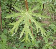 Tropical Plant Diseases - tropical plant disease papaya ringspot virus stock photos images