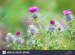 spear thistles cirsium vulgare in falling rain scottish