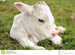 cow calf stock photos royalty free images dreamstime