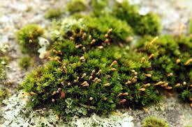 mosses of the arboretum arnold arboretum