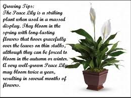 Peace Lily Plant How To Grow A Peace Lily Youtube