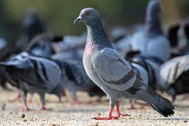 How To Get Rid Of Pigeons On My Roof by Feral Pigeon Wikipedia