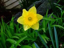 flower of march daffodil living in season slow time seasonal