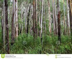 eucalyptus tree forest stock photo image 68603659