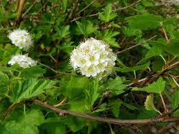 ninebark shrub info tips for growing ninebark shrubs