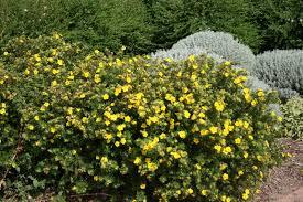 arbuste feuillage pourpre persistant arbuste caduc a fleurs le blog de leblanc jean claude