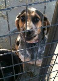 bluetick coonhound west virginia i found doreen easy going on treeing walker coonhound and animal