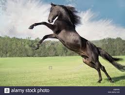 ferrari horse vs mustang horse horse rearing stock photos u0026 horse rearing stock images alamy