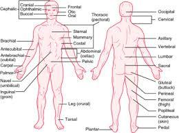 Abdominal Anatomy Quiz A U0026p Quiz 2 Anatomy U0026 Physiology 1 With Sayers At Rutgers