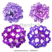 Verbena Flower Verbena Flower Stock Images Royalty Free Images U0026 Vectors