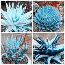 edible blue flowers 100pcs blue succulents seed plant aloe vera seeds edible beauty