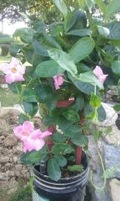 Mandevilla Plant Diseases - growing mandevilla thriftyfun