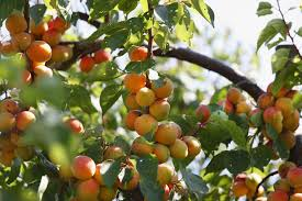 home orchard fruit trees not bearing fruit