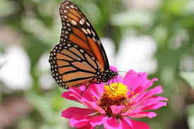 digital photography monarch butterfly on zinnia flower