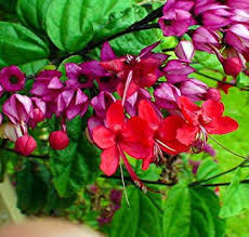 Indoor Vine Plant Amazon Com Red Bleeding Heart Vine Plant Clerodendrum