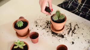 small flower pot woman planting small cactus inside flower pot full of dirt stock