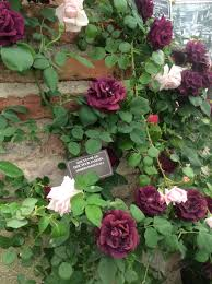 Climbing Plants For North Facing Walls - style the organised gardener