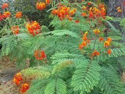 san antonio native plants buy pride of barbados in helotes wilson landscape nursery