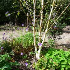 dull days birches ornamental trees ornamental trees