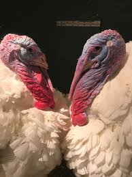 turkey tuesday there s no turkey shortage for thanksgiving