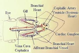 cephalopod circulatory system study com