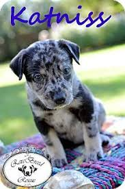 australian shepherd catahoula mix somers ct australian shepherd catahoula leopard dog mix meet